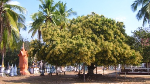 remarkable mango tree, awaiting the rain to bud some fruit