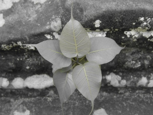 Bodhi tree growing from the ruins