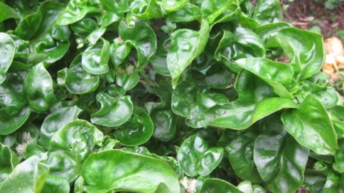 chlorophyl-rich Brazilian spinach - a super food and easy to grow!